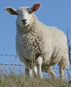 Sheep & Goat Health